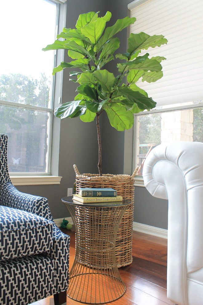 Chinese Pistachio Tree for a Contemporary Spaces with a Fiddle Leaf Fig Tree and Funderburg by Dana Frieling Interiors