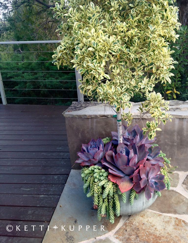 Ficus Nitida for a Eclectic Landscape with a Reclaimed Wood Fence and Ficus Planter with Echiveria Afterglow by Ketti Kupper Conscious Life Design