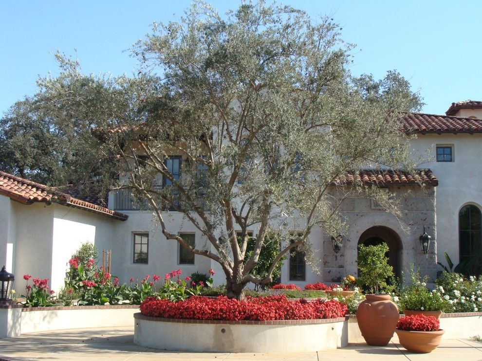 Fruit Basket Flowerland for a Mediterranean Landscape with a Archway and Field Grown Olive   Visalia, Ca by Pacific West Tree Company