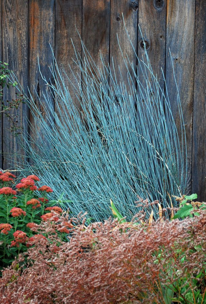 Getting Rid of Mosquitoes for a Contemporary Landscape with a Shrub and Bluestem Joint Fir (Ephedra Equisetina) by Jocelyn H. Chilvers