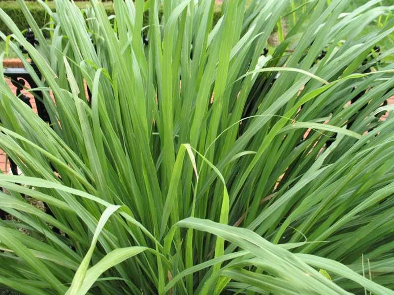 Getting Rid of Mosquitoes for a Traditional Landscape with a Traditional and Lemon Grass by Missouri Botanical Garden