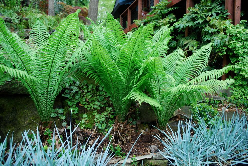How to Grow Strawberries for a Eclectic Spaces with a Ferns and Ostrich Fern with Blue Dune Lyme Grass. by Jay Sifford Garden Design