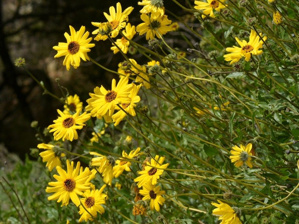 How to Grow Sunflowers for a  Landscape with a  and Bush Sunflower by Treebeard