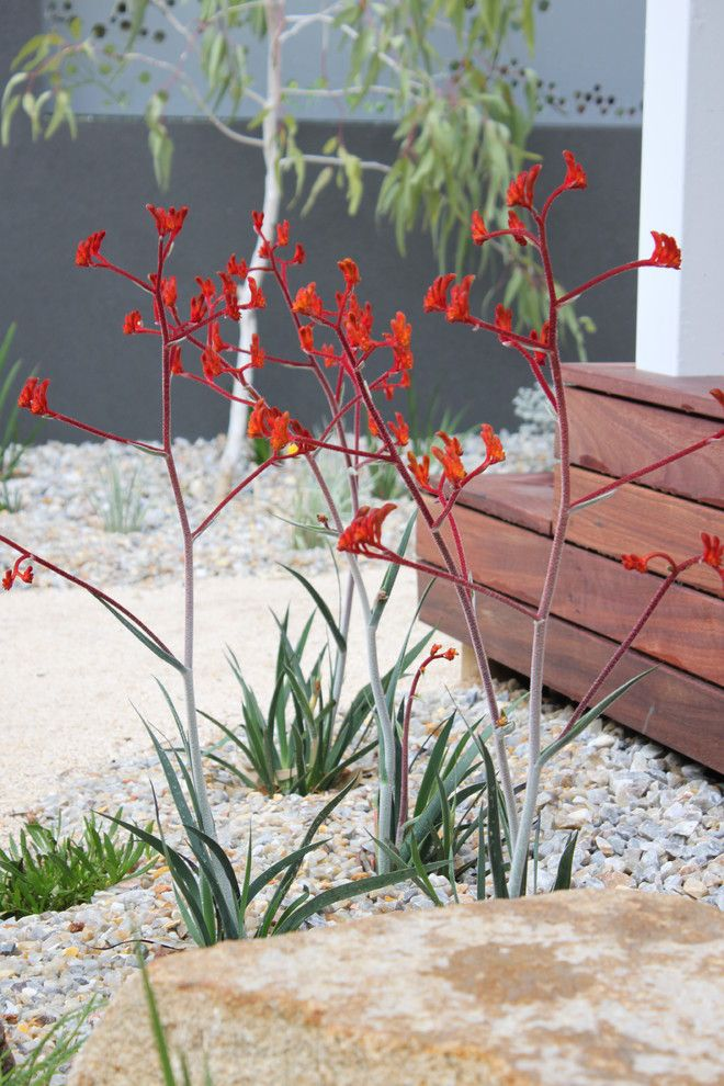 Kangaroo Paw Plant for a Beach Style Spaces with a Laser Cut Screens and Coastal Garden  Kangaroo Paws by Wild About Gardens