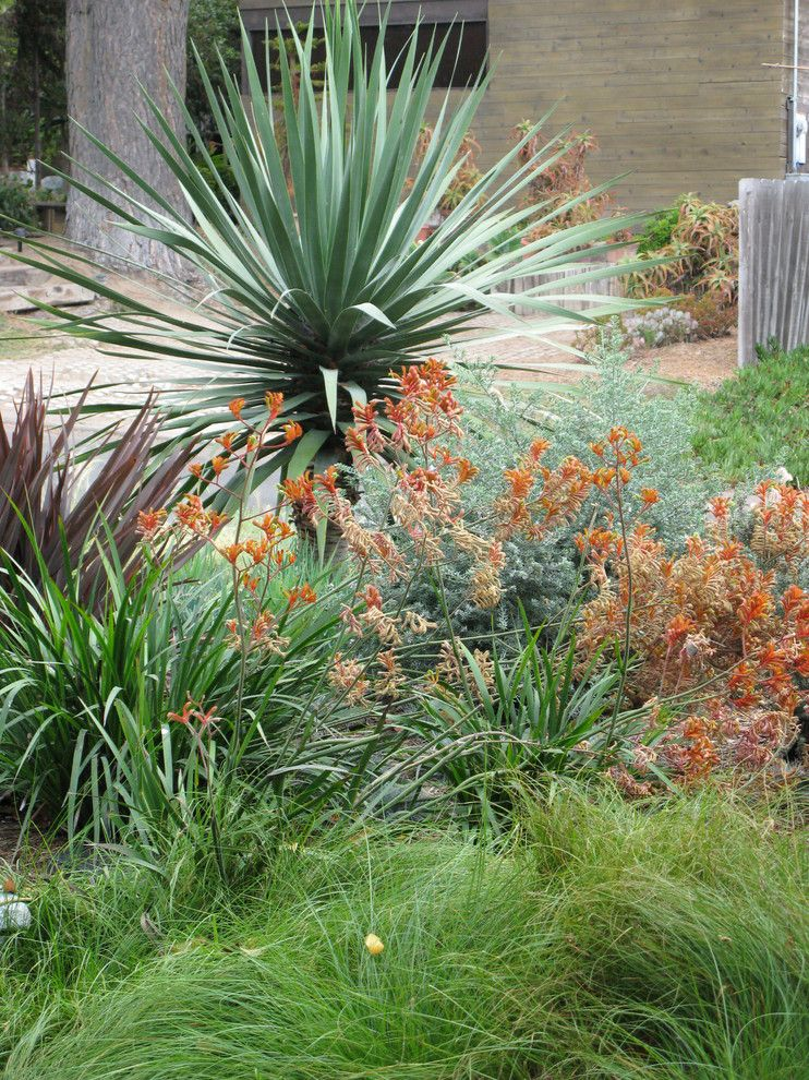 Kangaroo Paw Plant for a Mediterranean Landscape with a Succulents and Debora Carl Landscape Design by Debora Carl Landscape Design