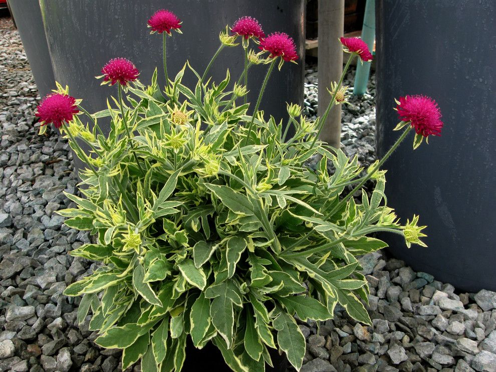 Lowes Colorado Springs for a Contemporary Landscape with a Contemporary and Knautia 'Thunder and Lightning' by Skagit Gardens