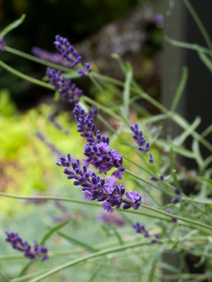 Lowes Colorado Springs for a  Landscape with a Hidcote Lavender and Great Plant Combinations by Le Jardinet