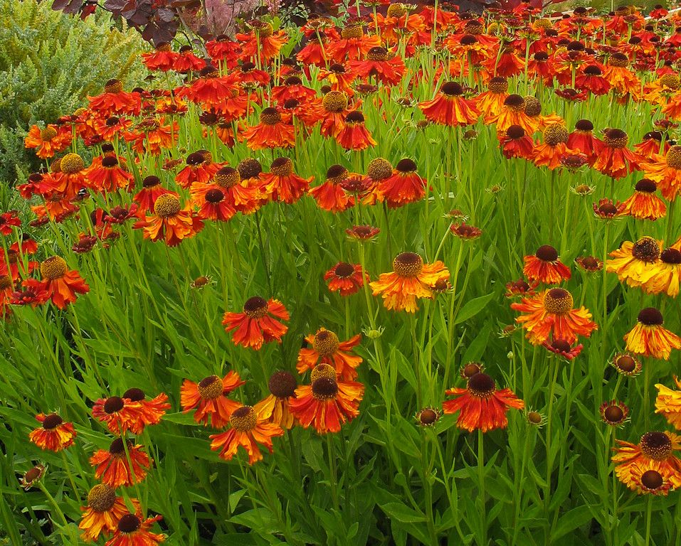 Lowes Hot Springs Ar for a Traditional Landscape with a Helenium Mardi Gras Helens Flower and Great Plant Combinations by Le Jardinet