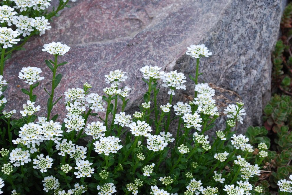 Lowes Sioux Falls for a Traditional Landscape with a Candytuft and Candytuft, Iberis Sempervirens by Jocelyn H. Chilvers
