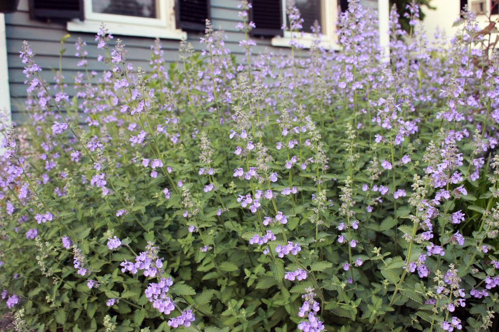 Lowes Stockton Ca for a  Landscape with a  and 'Walker's Low' Catmint (Nepeta X Faasenii 'Walker's Low') by Andrew Keys