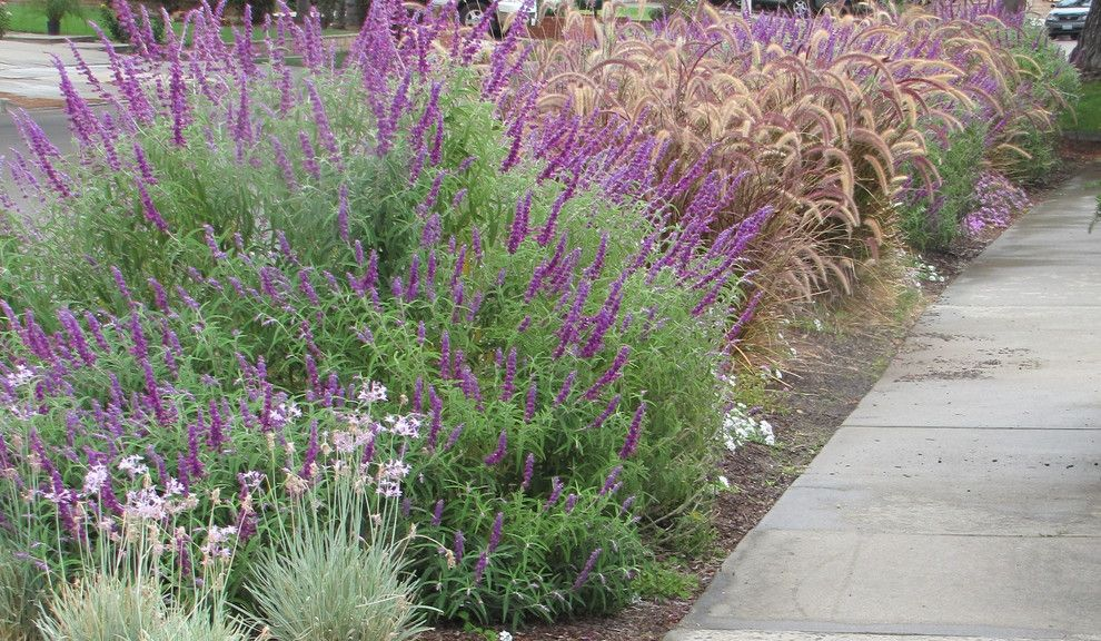 Texas Ranger Plant for a  Landscape with a Water Wise and Salvia 'Midnight' & Red Fountain Grass Replace Turf in This Parkway by Jean Marsh Design