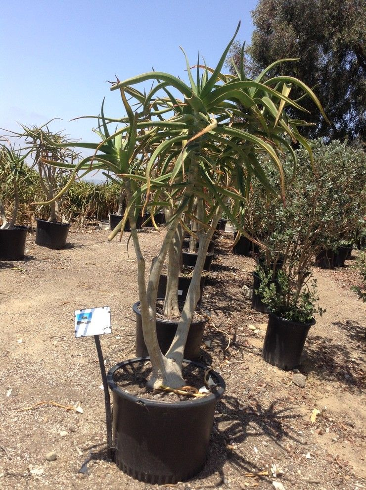 Waterwise Botanicals for a Mediterranean Landscape with a California Friendly Plants and Plants by Belle Terre Landscapes