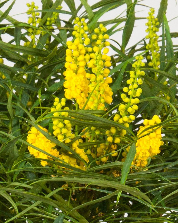Soft Caress Mahonia for a  Spaces with a Soft Caress Mahonia and 'Soft Caress' Mahonia Mahonia Eurybracteata 'Soft Caress' Pp#20183 by Southern Living Plant Collection
