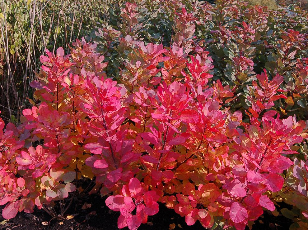Adorne for a Traditional Landscape with a Cotinus Coggygria Old Fashioned and 'Old Fashioned' Smoke Bush by Concept Plants