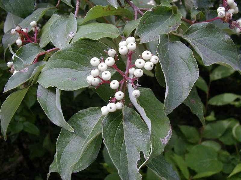 Cornus Racemosa for a  Landscape with a Gray Dogwood and Gray Dogwood (Cornus Racemosa) by Missouri Botanical Garden