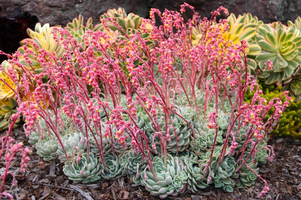 Falling Waters Frank Lloyd Wright for a Mediterranean Landscape with a San Luis Obispo and Elegant Echeveria by Gardens by Gabriel, Inc.