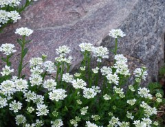 Hardiness Zone Map for a Traditional Landscape with a Full Sun and Candytuft, Iberis Sempervirens by Jocelyn H. Chilvers