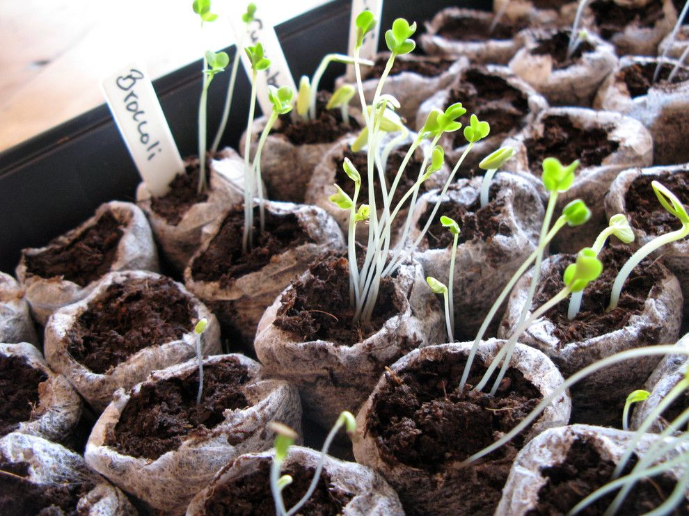 How to Grow Beets for a  Landscape with a Starting and Vegetable Seedlings 2.jpg by Noelle Johnson Landscape Consulting