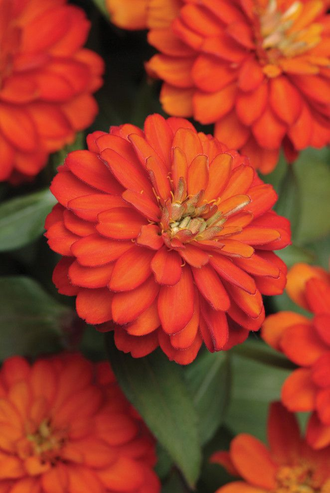 How to Grow Radishes for a  Landscape with a  and Zinnia Zahara Double Fire by Burpee