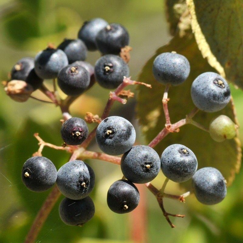 Hummingbird Habitat for a  Landscape with a Blue Elderberry and Blue Elderberry by Treebeard