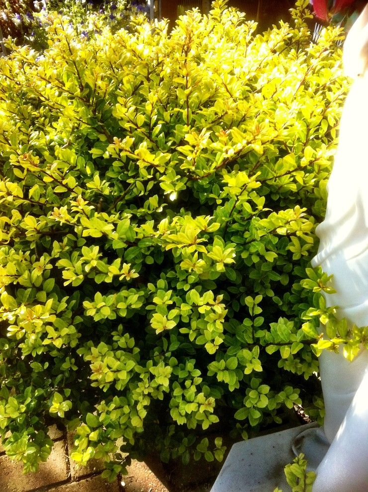 Japanica for a Traditional Landscape with a Traditional and Ilex Crenata 'Golden Gem' by Frank Organ