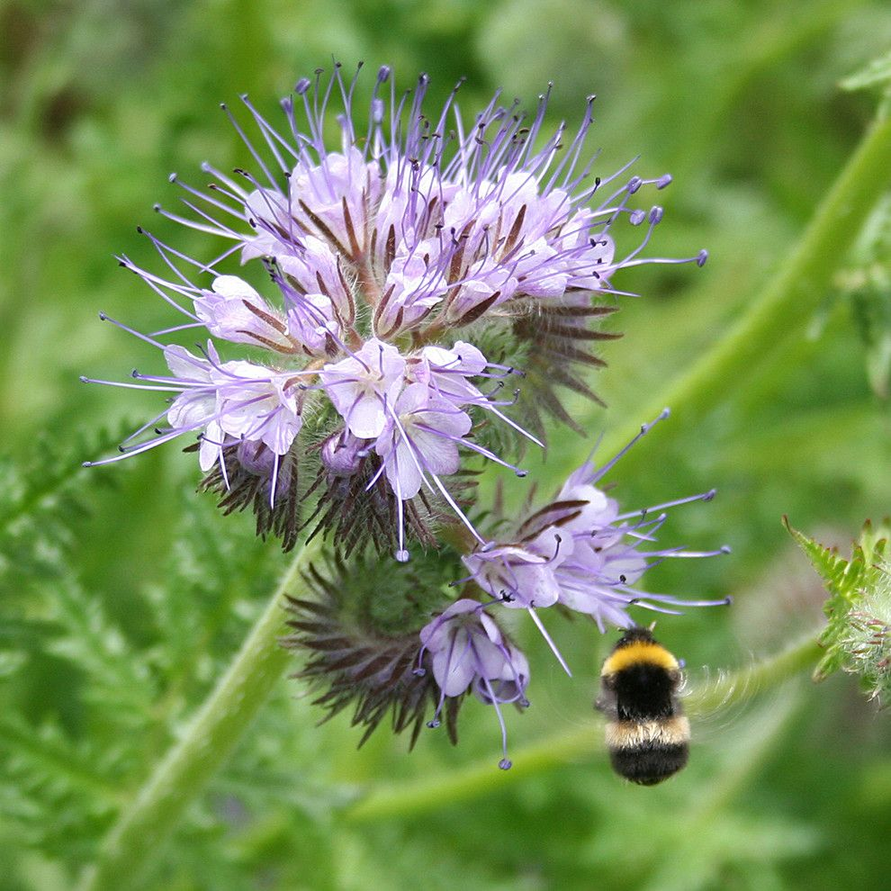 Leaf Cutter Bees for a  Landscape with a  and Phacelia Tanacetifolia Attracting a Bumblebee by flickr.com