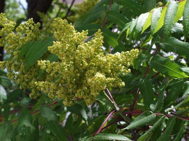 Leaf Cutter Bees for a Rustic Landscape with a Smooth Sumac and Rhus Glabra by Missouri Botanical Garden