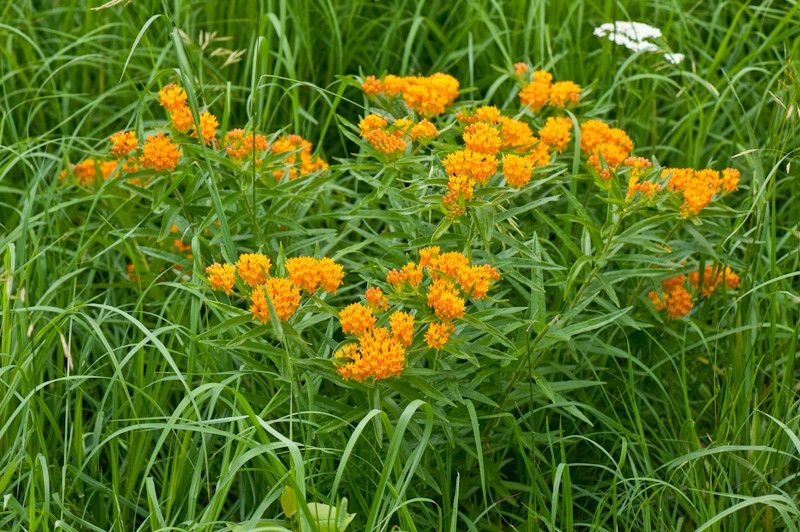 Monarch Butterfly Symbolism for a  Landscape with a  and Butterfly Milkweed by Holm Design & Consulting Llc
