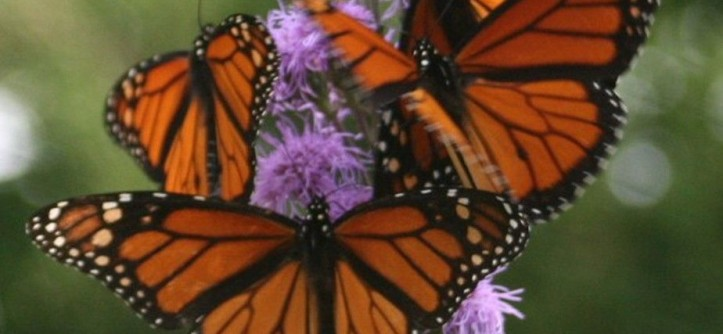 Monarch Butterfly Symbolism for a  Landscape with a  and Meadow Blazingstar by Benjamin Vogt / Monarch Gardens