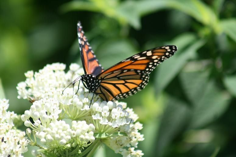 Monarch Butterfly Symbolism for a Traditional Landscape with a Traditional and Swampwhite.jpg by Benjamin Vogt / Monarch Gardens