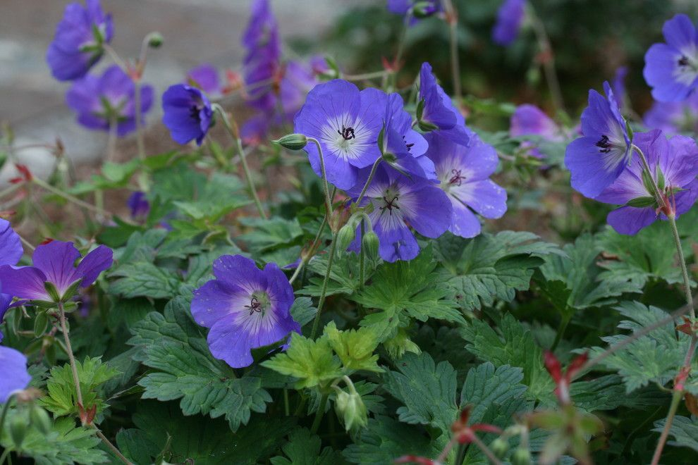 Mono Hot Springs for a  Landscape with a  and Geranium 'Rozanne' by Genevieve Schmidt