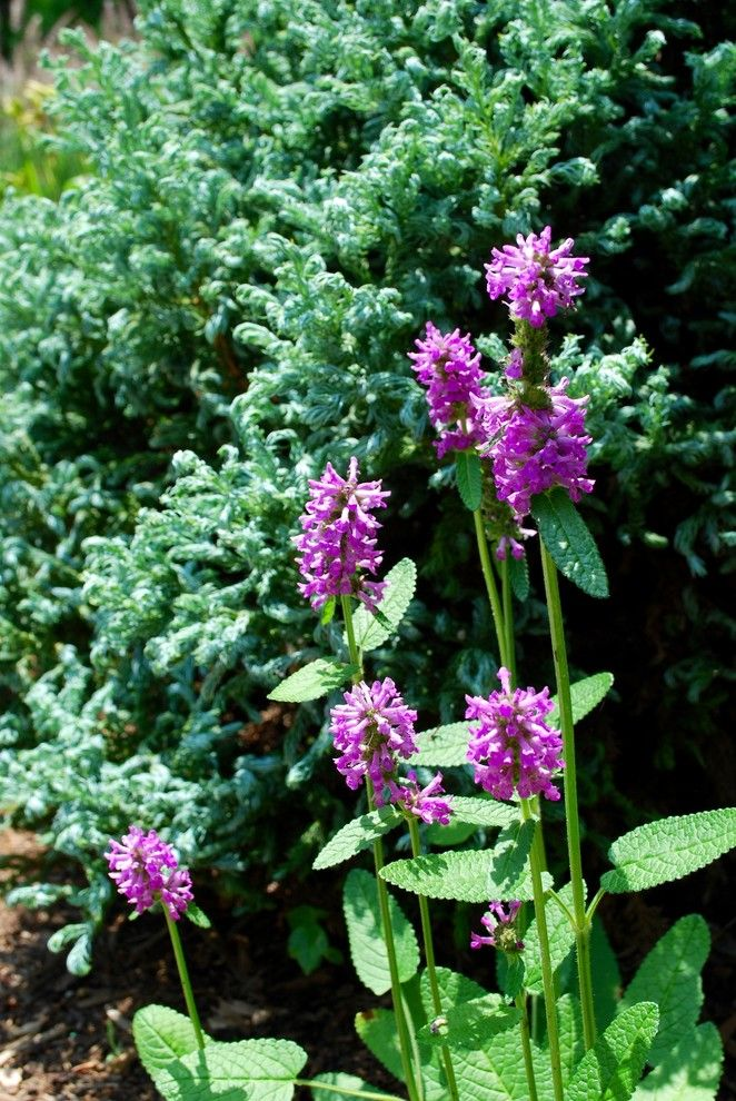 Piet Oudolf for a  Spaces with a  and Stachys Officinalis 'Hummelo' by Jay Sifford Garden Design