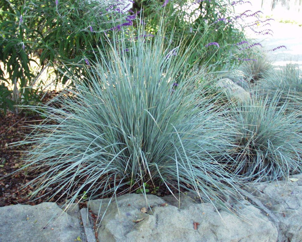San Marcos Theater for a  Landscape with a Blue Oat Grass and Helictotrichon Sempervirens by San Marcos Growers