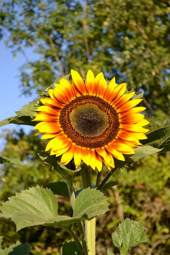 Sunflower Cafe Sonoma for a Traditional Landscape with a Sunflower and Sunflowers by Girasole Sonoma