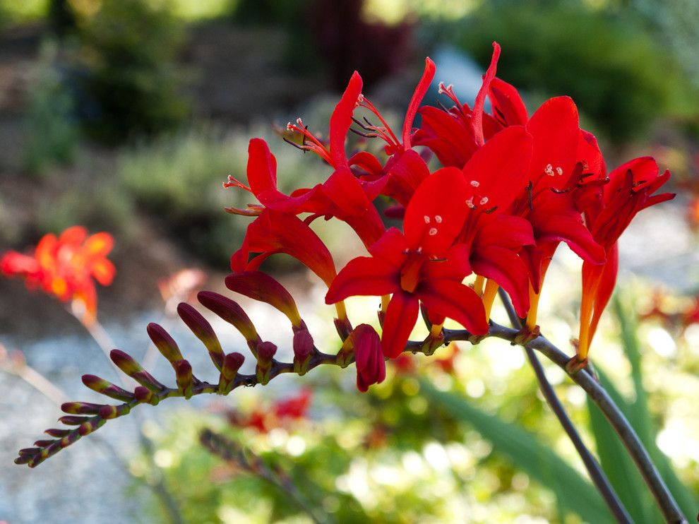 The Seasons of Cherry Creek for a  Landscape with a Crocosmia Lucifer and Great Plant Combinations by Le Jardinet