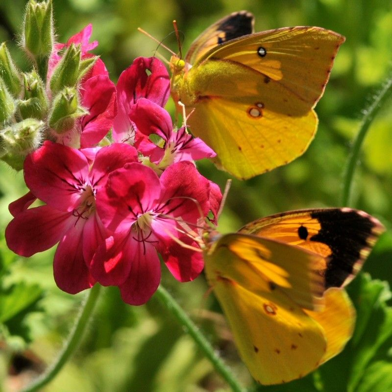 What is Milkweed for a  Landscape with a Butterfly Gardens and California Dogface Butterfly (Colias Eurydice) by Treebeard